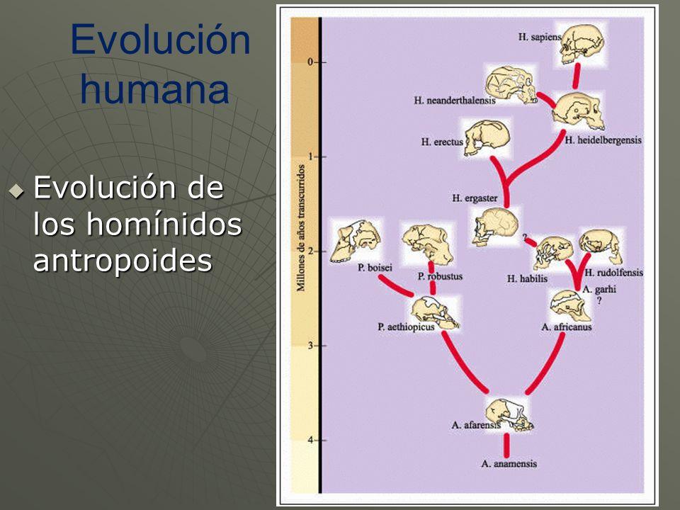 Evolución humana Evolución de los homínidos antropoides Evolución de los homínidos antropoides