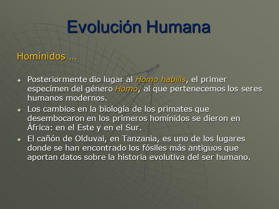 Homínidos … Posteriormente dio lugar al Homo habilis, el primer especímen del género Homo, al que pertenecemos los seres humanos modernos. Posteriorme