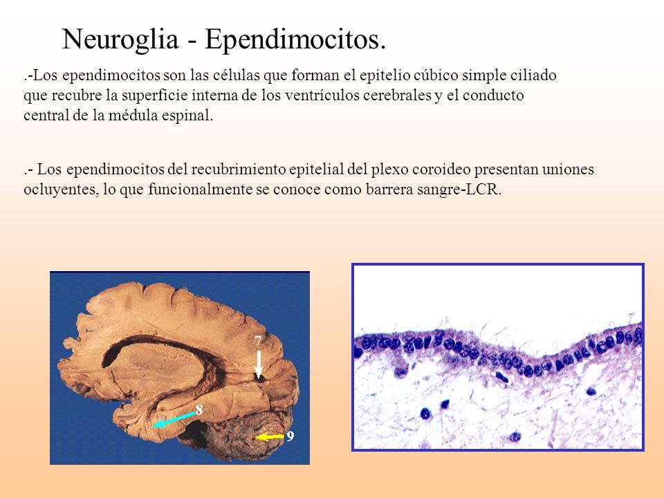 Neuroglia - Ependimocitos..-Los ependimocitos son las células que forman el epitelio cúbico simple ciliado que recubre la superficie interna de los ve