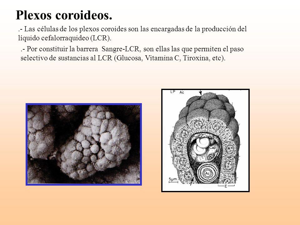 Plexos coroideos..- Las células de los plexos coroides son las encargadas de la producción del líquido cefalorraquideo (LCR)..- Por constituir la barr