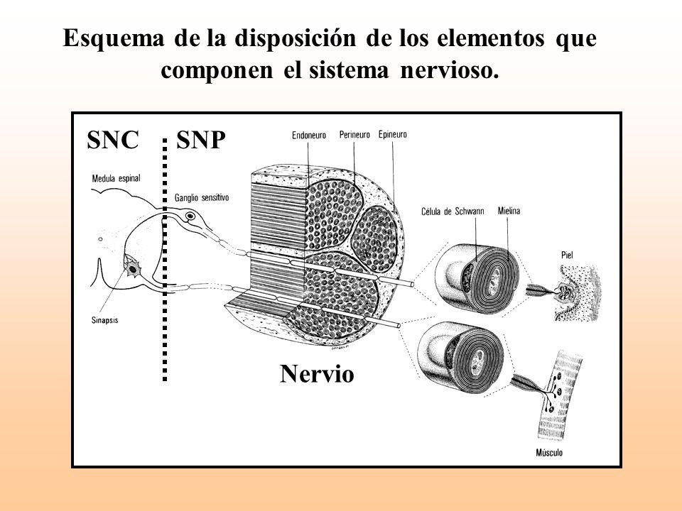 Esquema de la disposición de los elementos que componen el sistema nervioso. SNCSNP Nervio