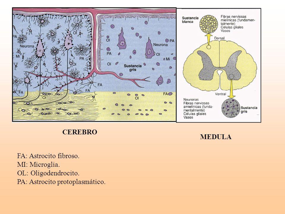 MEDULA FA: Astrocito fibroso. MI: Microglia. OL: Oligodendrocito. PA: Astrocito protoplasmático. CEREBRO