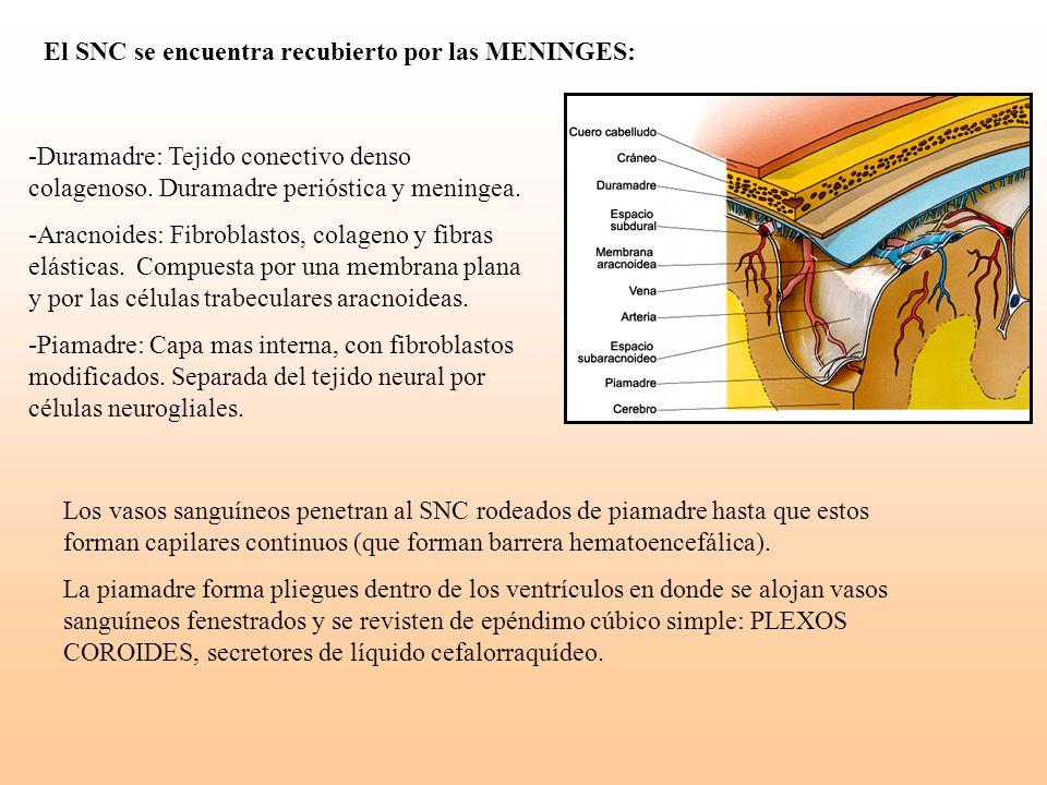 -Duramadre: Tejido conectivo denso colagenoso. Duramadre perióstica y meningea. -Aracnoides: Fibroblastos, colageno y fibras elásticas. Compuesta por