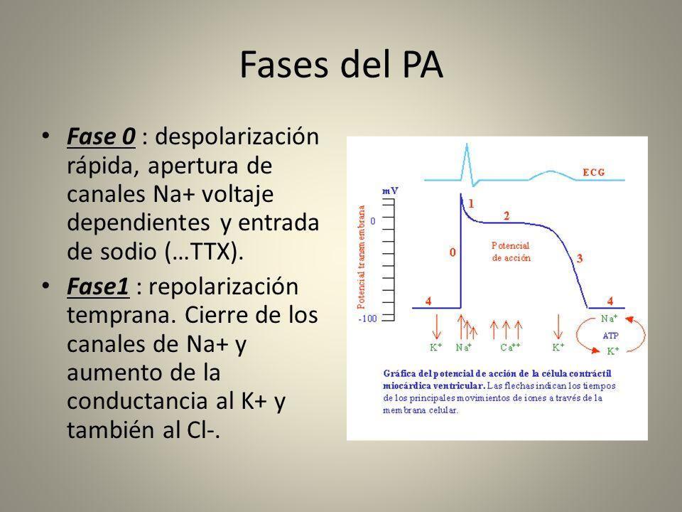 Fases del PA Fase 0 : despolarización rápida, apertura de canales Na+ voltaje dependientes y entrada de sodio (…TTX). Fase1 : repolarización temprana.