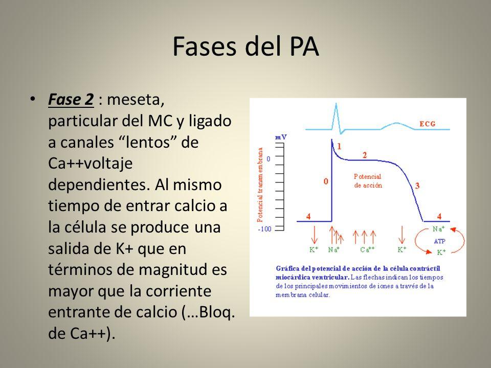 Fases del PA Fase 2 : meseta, particular del MC y ligado a canales lentos de Ca++voltaje dependientes. Al mismo tiempo de entrar calcio a la célula se