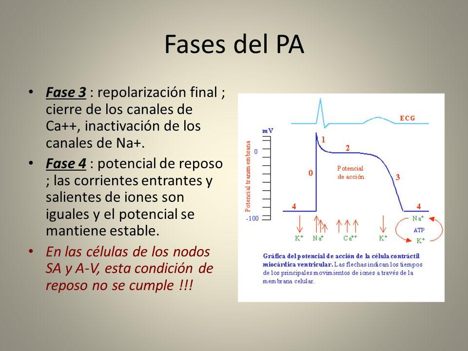 Fases del PA Fase 3 : repolarización final ; cierre de los canales de Ca++, inactivación de los canales de Na+. Fase 4 : potencial de reposo ; las cor
