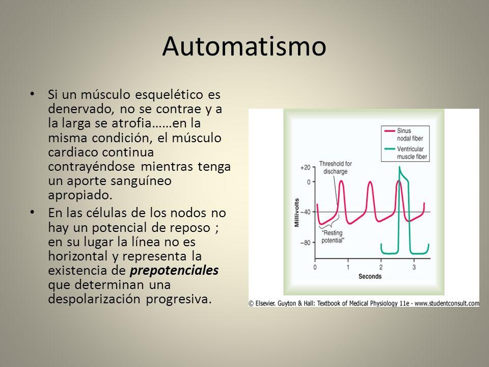 Automatismo Si un músculo esquelético es denervado, no se contrae y a la larga se atrofia……en la misma condición, el músculo cardiaco continua contray