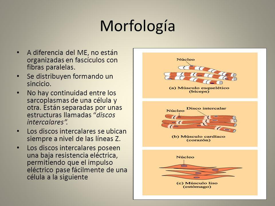 Morfología A diferencia del ME, no están organizadas en fascículos con fibras paralelas. Se distribuyen formando un sincicio. No hay continuidad entre