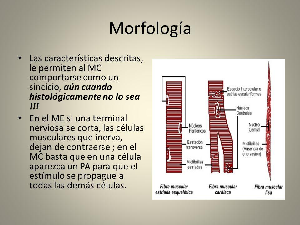 Morfología Las características descritas, le permiten al MC comportarse como un sincicio, aún cuando histológicamente no lo sea !!! En el ME si una te