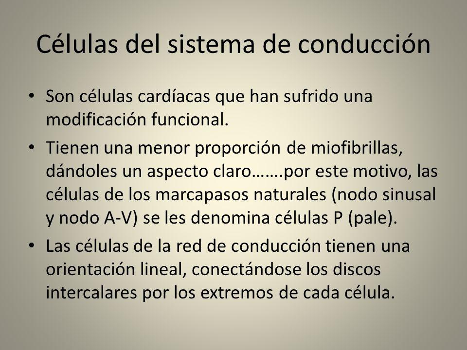 Células del sistema de conducción Son células cardíacas que han sufrido una modificación funcional. Tienen una menor proporción de miofibrillas, dándo