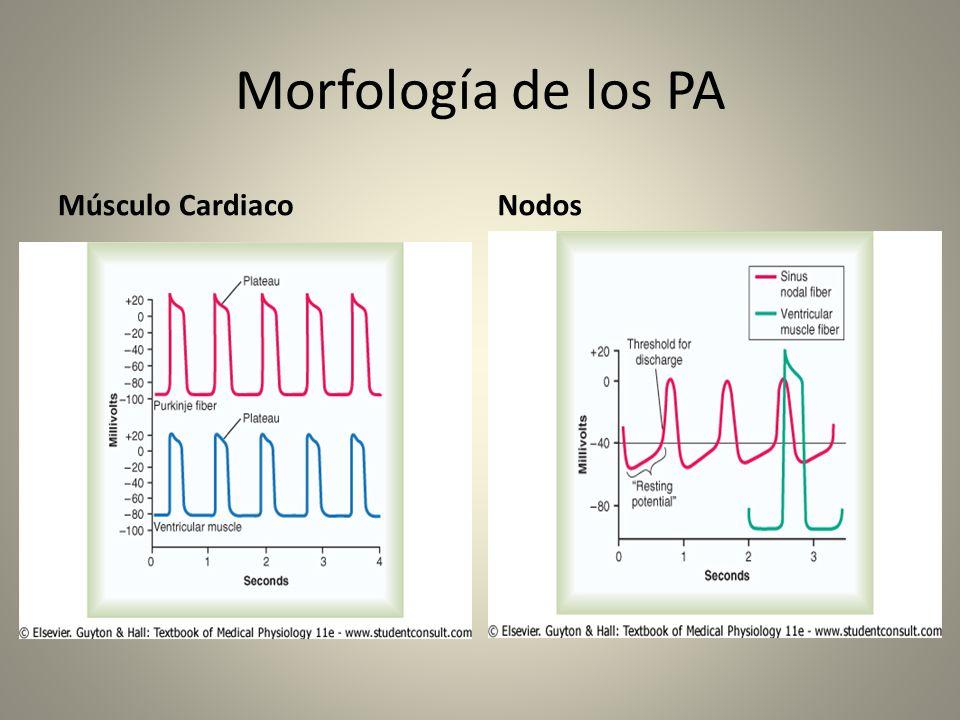 PA y Periodo refractario La larga duración de los PA en el MC son la clave para comprender el por que no se presentan los fenómenos de sumación y tetanización.