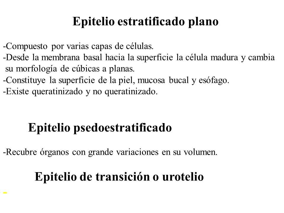 Epitelio estratificado plano -Compuesto por varias capas de células.