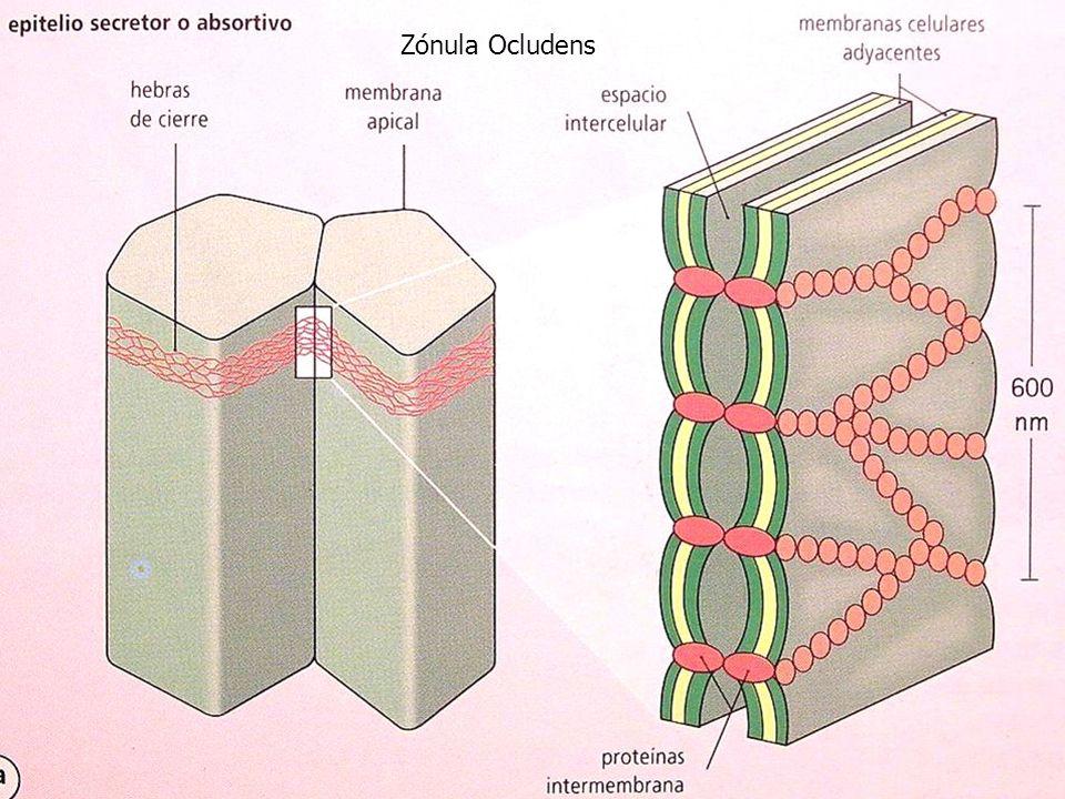 Zónula Ocludens