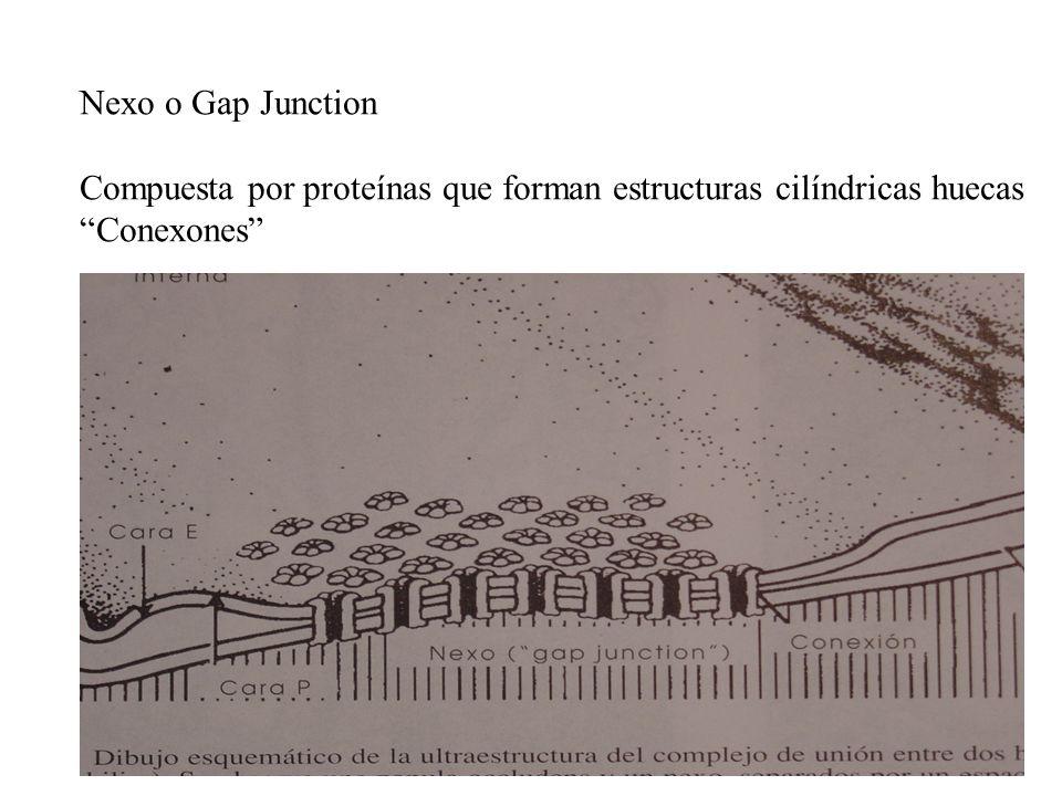 Nexo o Gap Junction Compuesta por proteínas que forman estructuras cilíndricas huecas Conexones