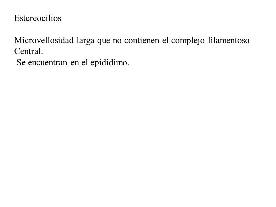 Estereocilios Microvellosidad larga que no contienen el complejo filamentoso Central.