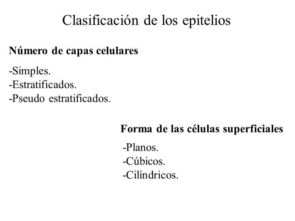 Clasificación de los epitelios Número de capas celulares Forma de las células superficiales -Simples. -Estratificados. -Pseudo estratificados. -Planos
