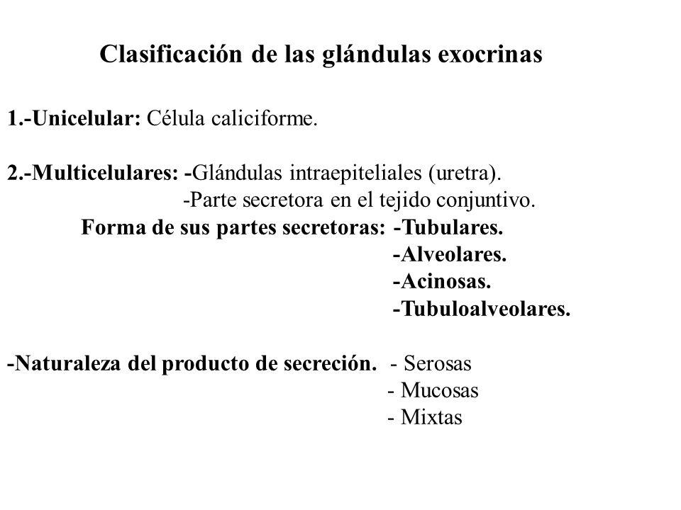 Clasificación de las glándulas exocrinas 1.-Unicelular: Célula caliciforme. 2.-Multicelulares: -Glándulas intraepiteliales (uretra). -Parte secretora
