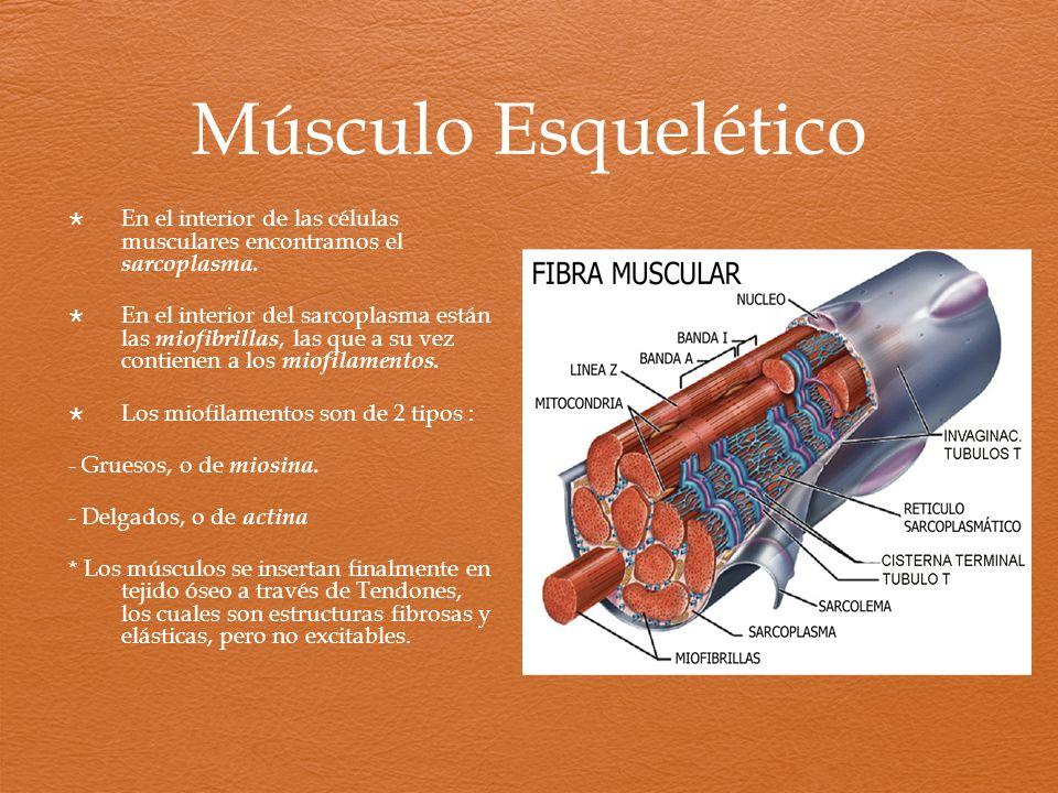 Músculo Esquelético En el interior de las células musculares encontramos el sarcoplasma. En el interior del sarcoplasma están las miofibrillas, las qu