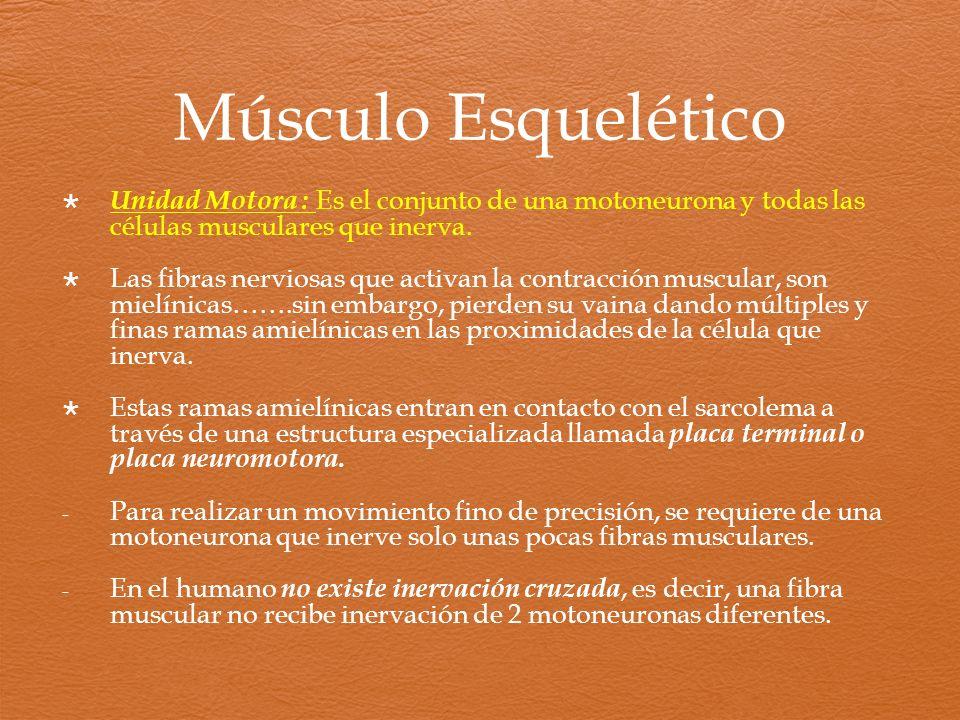 Músculo Esquelético Unidad Motora : Es el conjunto de una motoneurona y todas las células musculares que inerva. Las fibras nerviosas que activan la c