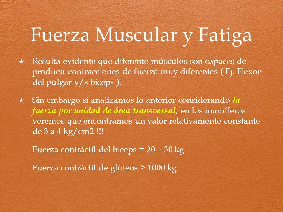 Fuerza Muscular y Fatiga Resulta evidente que diferente músculos son capaces de producir contracciones de fuerza muy diferentes ( Ej. Flexor del pulga