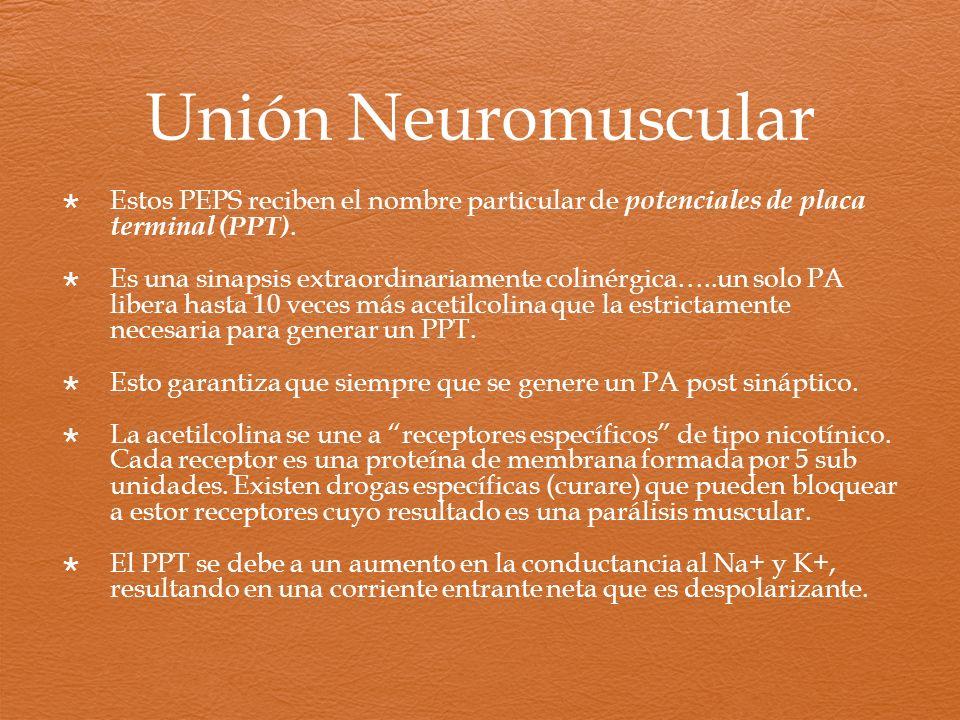 Unión Neuromuscular Estos PEPS reciben el nombre particular de potenciales de placa terminal (PPT). Es una sinapsis extraordinariamente colinérgica…..