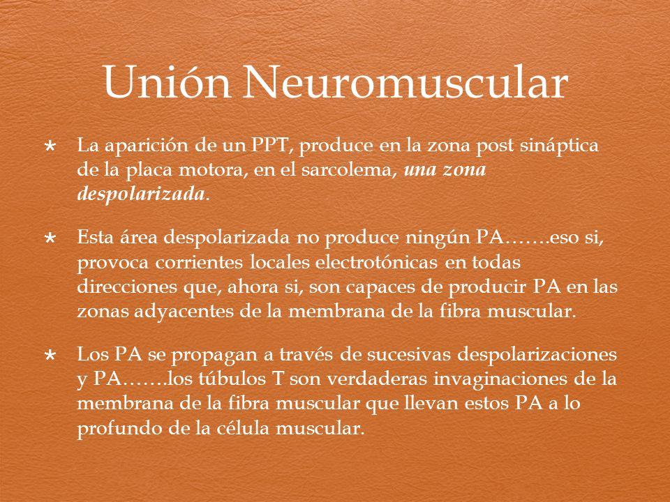 La aparición de un PPT, produce en la zona post sináptica de la placa motora, en el sarcolema, una zona despolarizada. Esta área despolarizada no prod