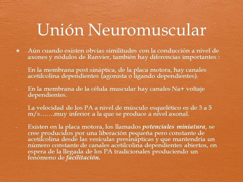 Unión Neuromuscular Aún cuando existen obvias similitudes con la conducción a nivel de axones y nódulos de Ranvier, también hay diferencias importante