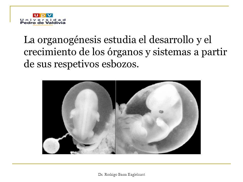 Dr. Rodrigo Barra Eaglehurst La organogénesis estudia el desarrollo y el crecimiento de los órganos y sistemas a partir de sus respetivos esbozos.