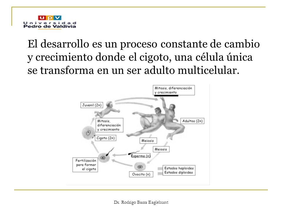 Dr. Rodrigo Barra Eaglehurst El desarrollo es un proceso constante de cambio y crecimiento donde el cigoto, una célula única se transforma en un ser a