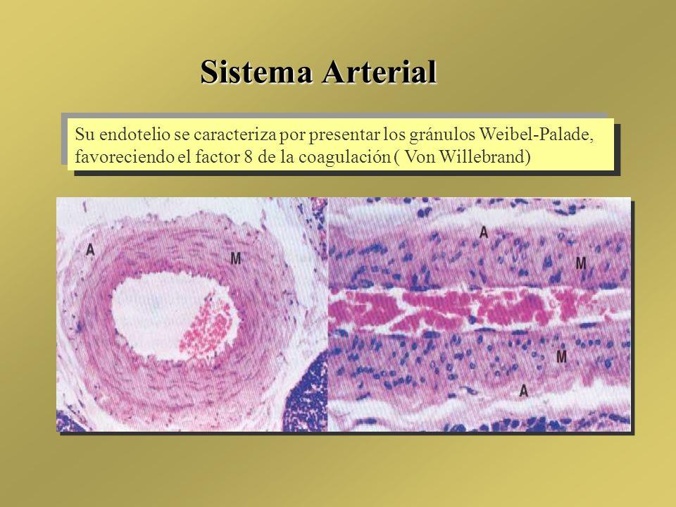 Sistema Arterial Su endotelio se caracteriza por presentar los gránulos Weibel-Palade, favoreciendo el factor 8 de la coagulación ( Von Willebrand)