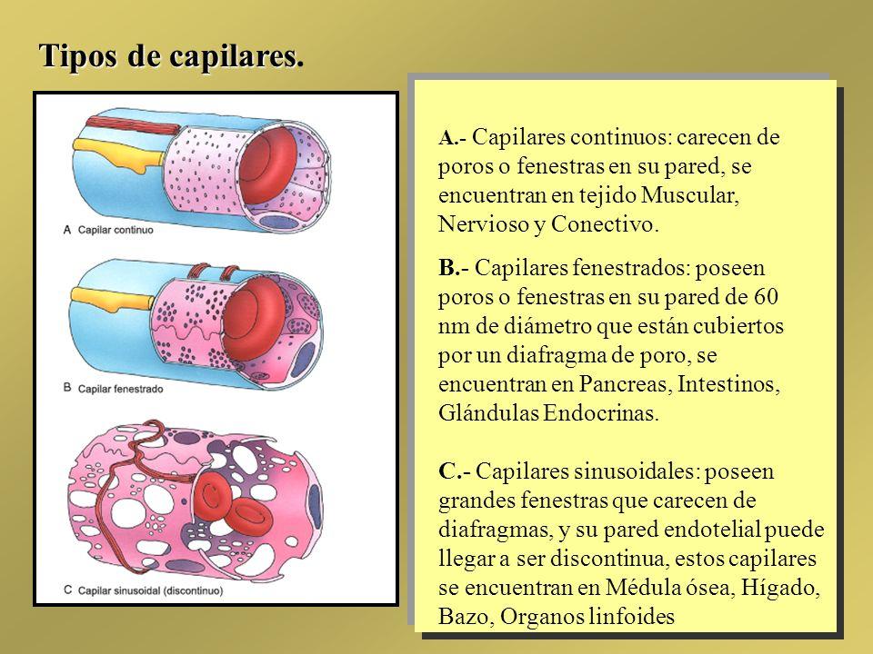Tipos de capilares Tipos de capilares. A.- Capilares continuos: carecen de poros o fenestras en su pared, se encuentran en tejido Muscular, Nervioso y