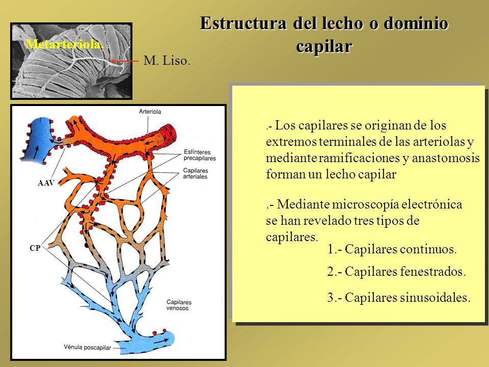 Estructura del lecho o dominio capilar.- Los capilares se originan de los extremos terminales de las arteriolas y mediante ramificaciones y anastomosi