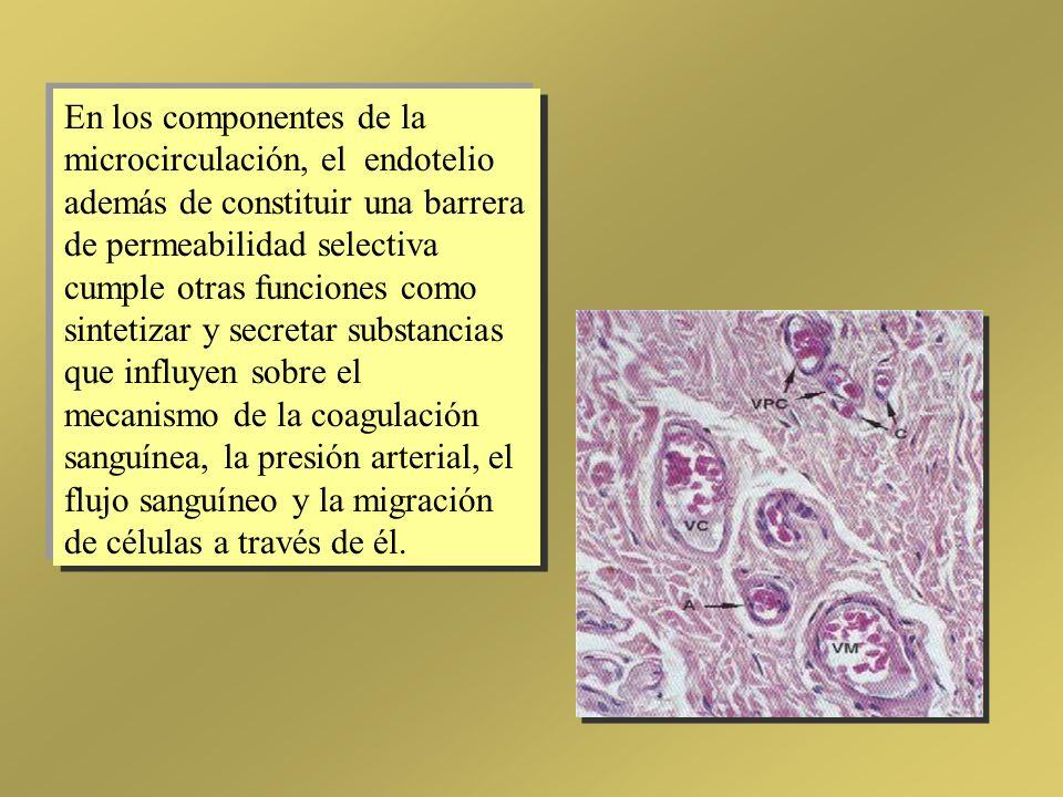 En los componentes de la microcirculación, el endotelio además de constituir una barrera de permeabilidad selectiva cumple otras funciones como sintet
