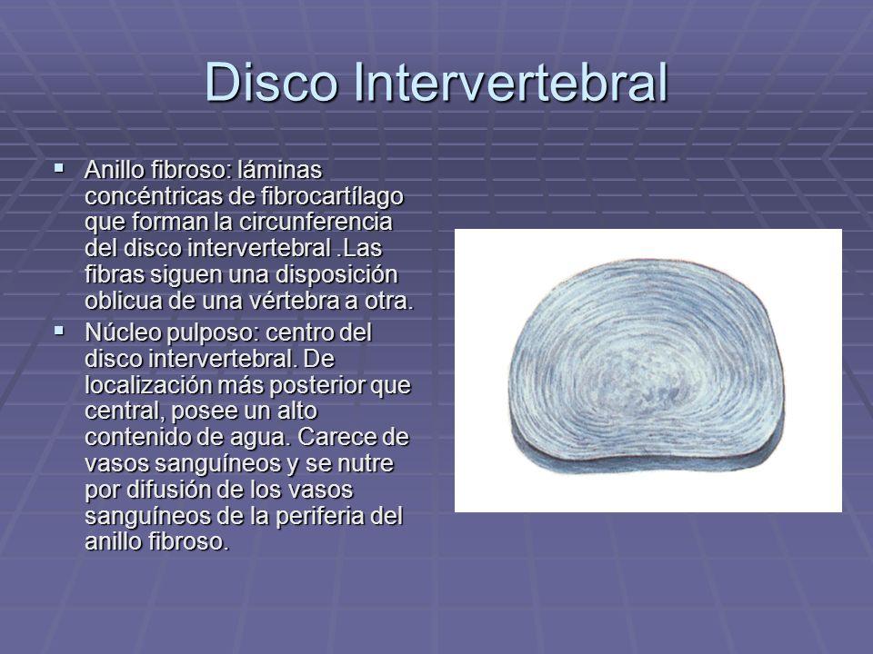 Disco Intervertebral Anillo fibroso: láminas concéntricas de fibrocartílago que forman la circunferencia del disco intervertebral.Las fibras siguen un
