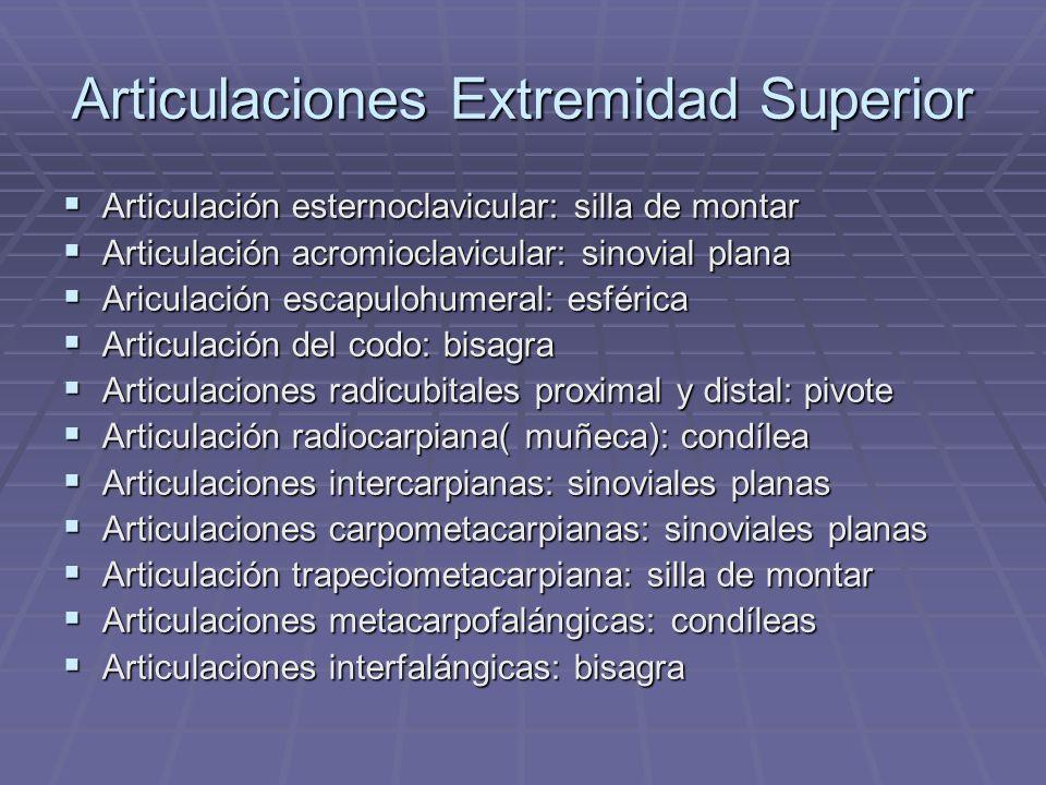 Articulaciones Extremidad Superior Articulación esternoclavicular: silla de montar Articulación esternoclavicular: silla de montar Articulación acromi