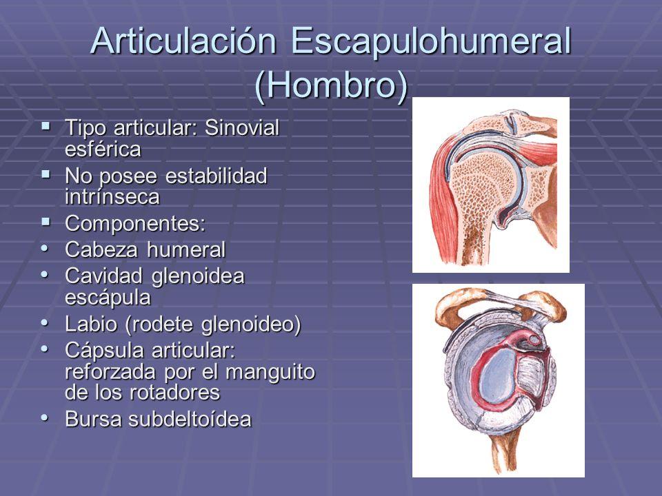 Articulación Escapulohumeral (Hombro) Tipo articular: Sinovial esférica Tipo articular: Sinovial esférica No posee estabilidad intrínseca No posee est