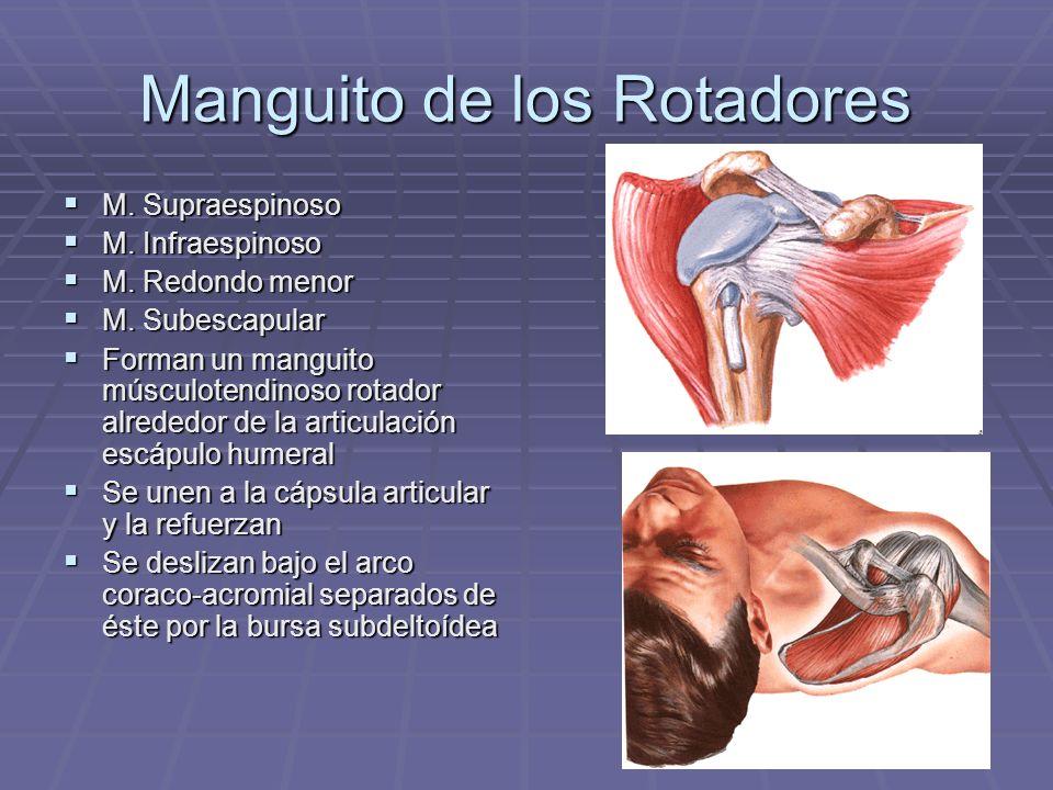 Manguito de los Rotadores M. Supraespinoso M. Supraespinoso M. Infraespinoso M. Infraespinoso M. Redondo menor M. Redondo menor M. Subescapular M. Sub