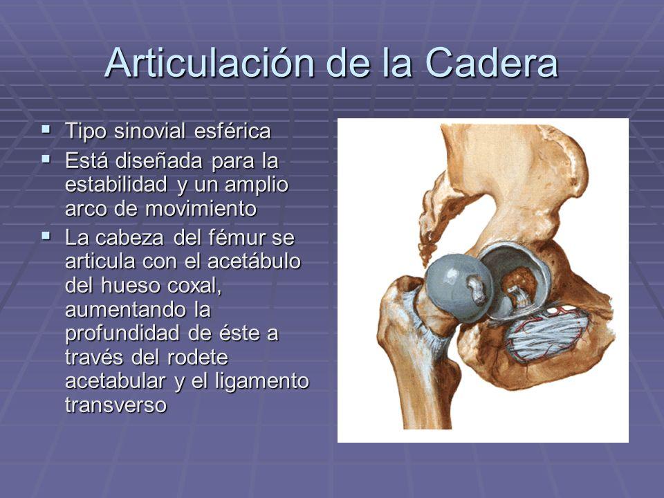Articulación de la Cadera Tipo sinovial esférica Tipo sinovial esférica Está diseñada para la estabilidad y un amplio arco de movimiento Está diseñada