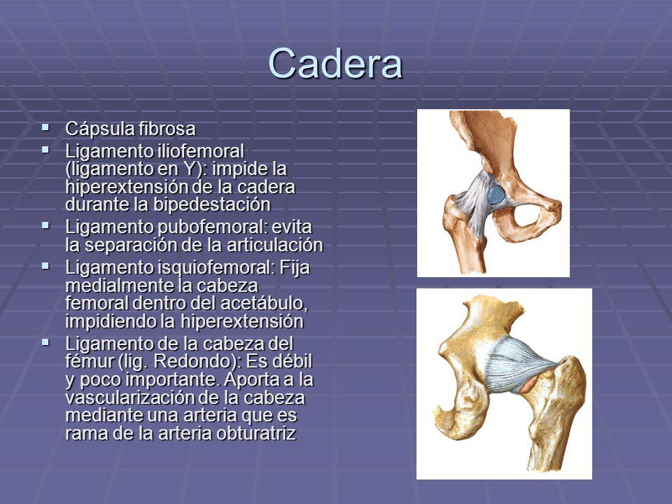 Cadera Cápsula fibrosa Cápsula fibrosa Ligamento iliofemoral (ligamento en Y): impide la hiperextensión de la cadera durante la bipedestación Ligament