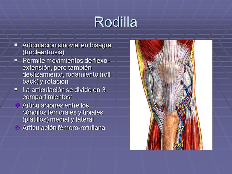 Rodilla Articulación sinovial en bisagra (trocleartrosis) Articulación sinovial en bisagra (trocleartrosis) Permite movimientos de flexo- extensión, p