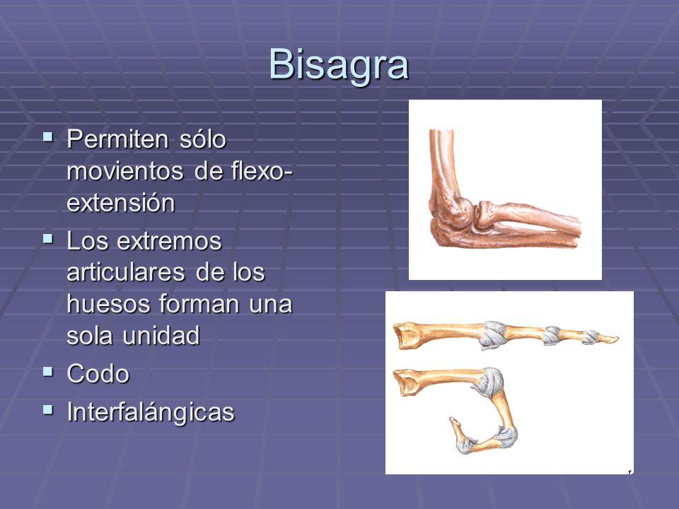 Bisagra Permiten sólo movientos de flexo- extensión Permiten sólo movientos de flexo- extensión Los extremos articulares de los huesos forman una sola