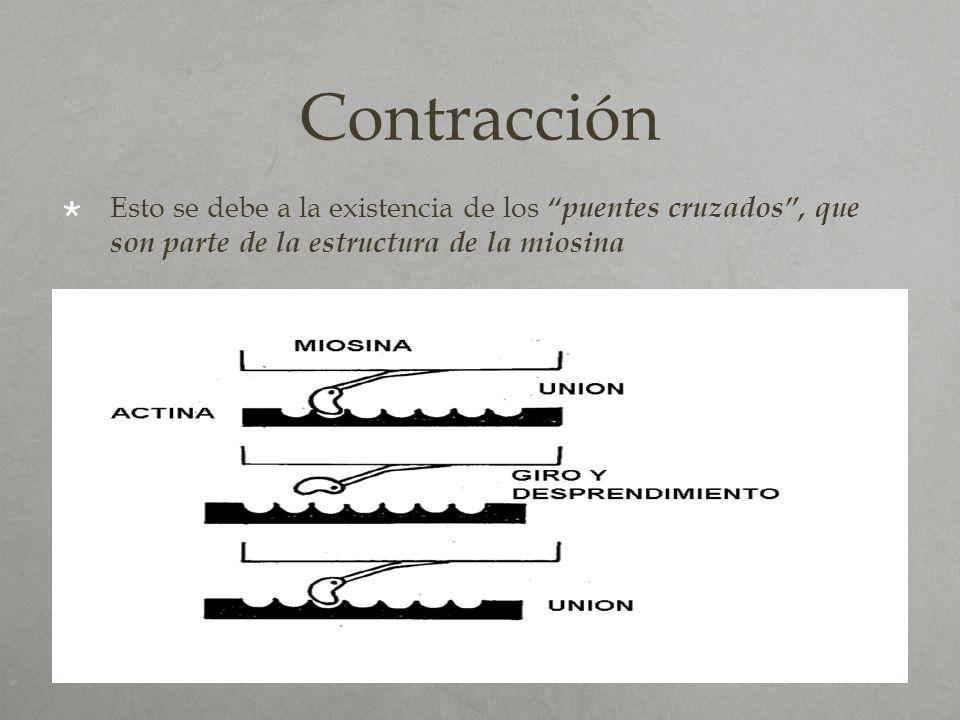 Contracción Esto se debe a la existencia de los puentes cruzados, que son parte de la estructura de la miosina