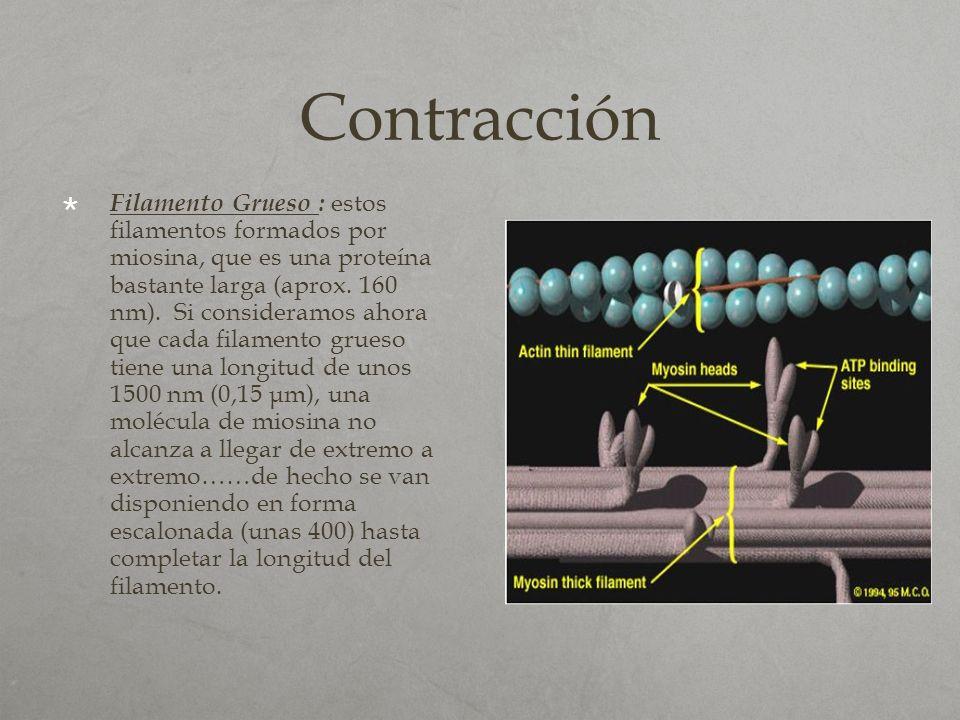 Contracción Filamento Grueso : estos filamentos formados por miosina, que es una proteína bastante larga (aprox. 160 nm). Si consideramos ahora que ca