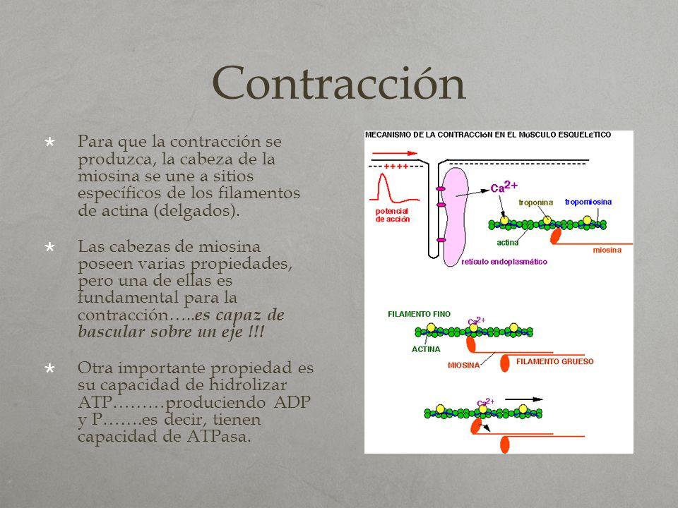 Contracción Para que la contracción se produzca, la cabeza de la miosina se une a sitios específicos de los filamentos de actina (delgados). Las cabez