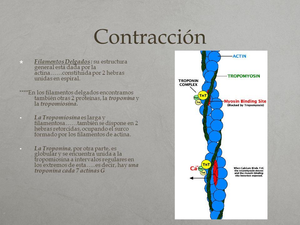 Contracción Filamentos Delgados : su estructura general está dada por la actina……constituida por 2 hebras unidas en espiral. ****En los filamentos del