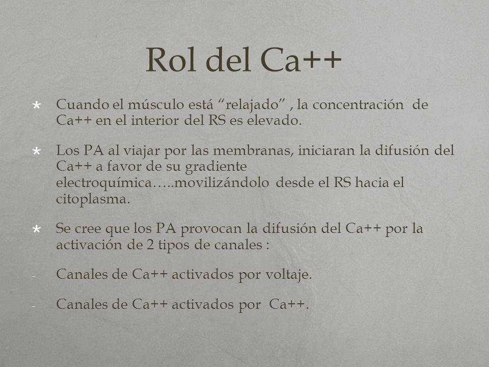Rol del Ca++ Cuando el músculo está relajado, la concentración de Ca++ en el interior del RS es elevado. Los PA al viajar por las membranas, iniciaran
