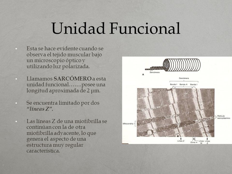 Unidad Funcional Esta se hace evidente cuando se observa el tejido muscular bajo un microscopio óptico y utilizando luz polarizada. Llamamos SARCÓMERO