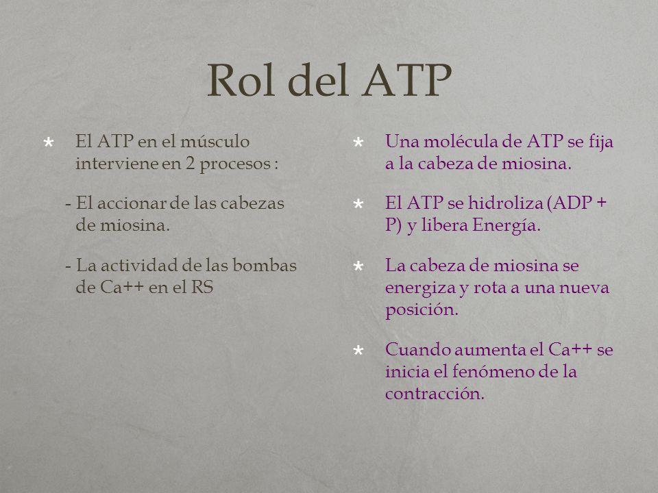 Rol del ATP El ATP en el músculo interviene en 2 procesos : - El accionar de las cabezas de miosina. - La actividad de las bombas de Ca++ en el RS Una