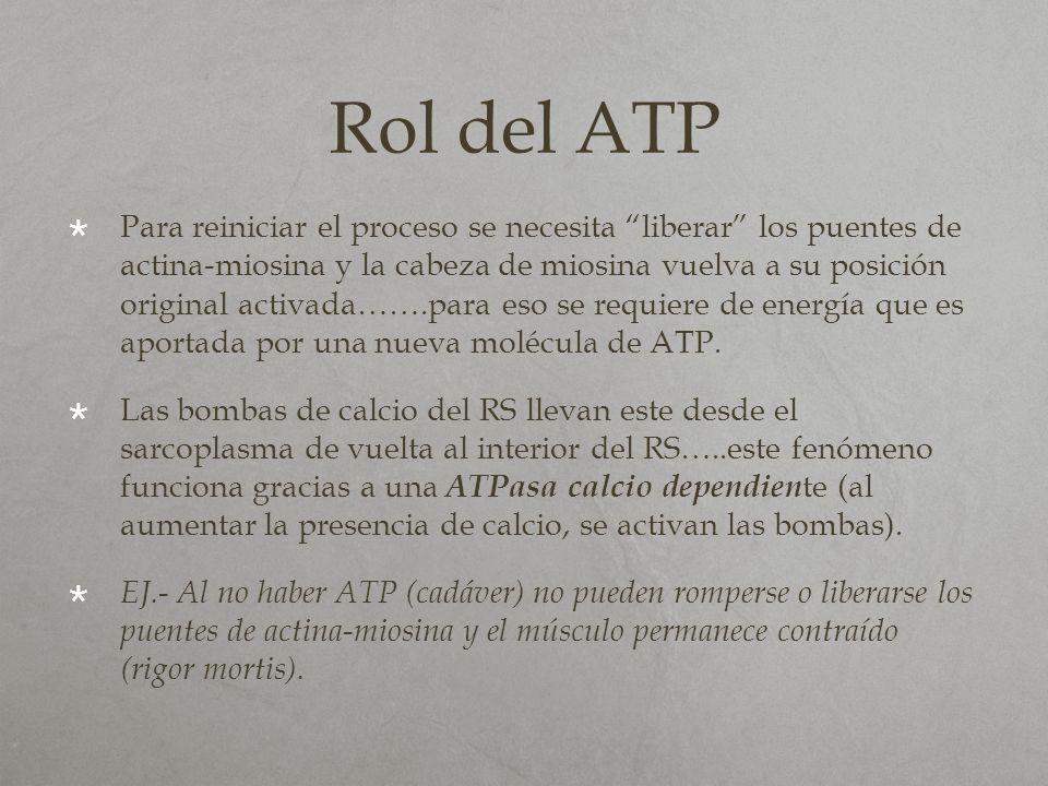 Rol del ATP Para reiniciar el proceso se necesita liberar los puentes de actina-miosina y la cabeza de miosina vuelva a su posición original activada…