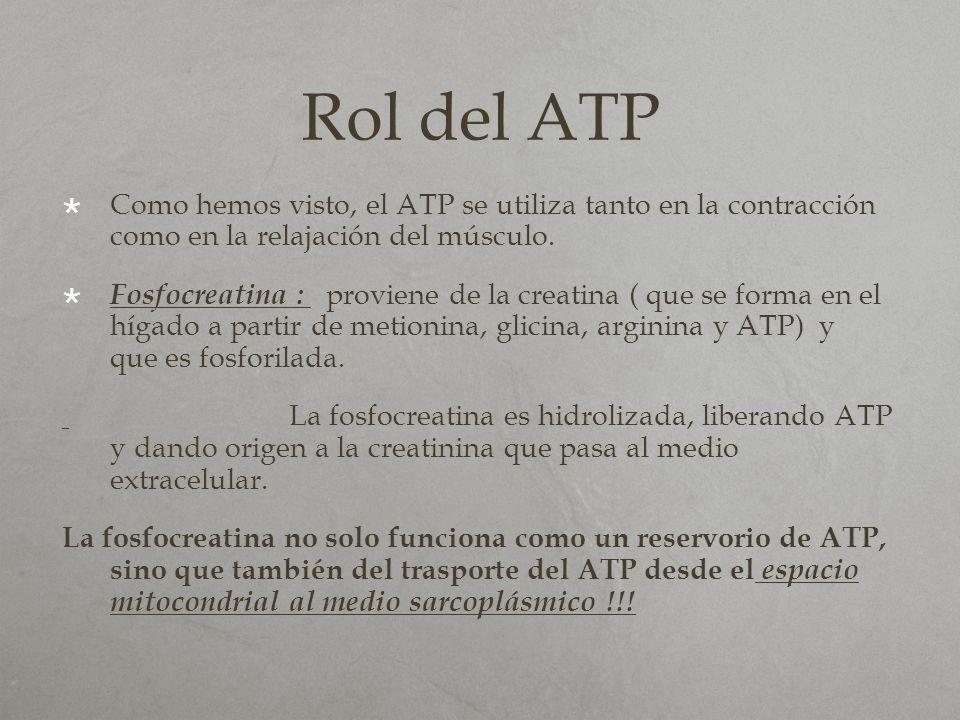 Rol del ATP Como hemos visto, el ATP se utiliza tanto en la contracción como en la relajación del músculo. Fosfocreatina : proviene de la creatina ( q